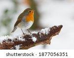 A Closeup Shot Of Robin Bird...
