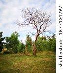 Dead Tree Standing With Broken...