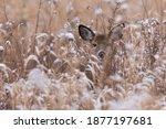 White Tailed Deer Doe In Winter