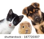 Stock photo puppy and kitten and guinea pig 187720307