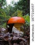 Amanita Ceasarea Mushroom  Also ...