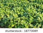 bean field   Shutterstock . vector #18773089