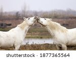The Camargue horse is a breed of ancient origin, native and endemic to the Camargue, in France, today also widespread in other parts of the world for its ability to adapt to wetlands such as in the m