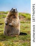 Marmot In The Austrian Mountains