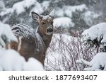 A Female White Tailed Deer ...