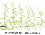 bamboo leaves on white... | Shutterstock . vector #187780379