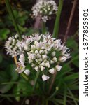 pretty white onion flowers with ...