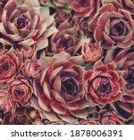 Stone Rose Close Up  Macro Shot