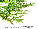 fir branch isolated on white | Shutterstock . vector #18780295