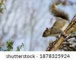 Eastern Grey Squirrel In The...