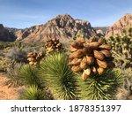 Joshua Tree Seed Pods   Mojave...
