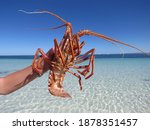 Rock Lobster Or A Crayfish...