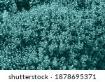 Chrysanthemum Mothers On The...