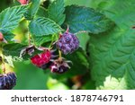 Raspberries Ripening From Red...