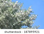 Poplar Tree Covered By White...