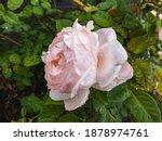 Beautiful Perfect Pink Rose...