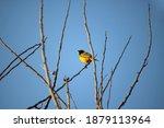Bright Yellow Southern Masked...