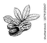 peanut illustration. hand drawn ... | Shutterstock .eps vector #1879193047
