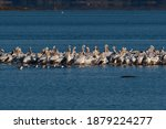 A Flock Of White Pelicans...