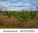 Small Bright Green Pine Trees...