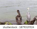 Two Brown Pelicans  Pelecanus...