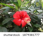 Red Color China Rose Flower...