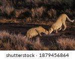 2 Cheetah Drinking From Puddle...