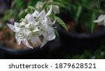 beautiful white paper flowers... | Shutterstock . vector #1879628521