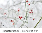 Red Rosehip Berries  Covered...