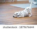 Little Dalmatian Puppy Lies On...