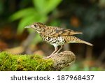 beautiful white's thrush ... | Shutterstock . vector #187968437