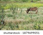 A Male Donkey Grazes In A...