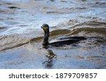 A Cormorant Swimming In A...