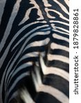 Southern Plains Zebra Seen On A ...