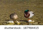 """A pair of duck at the river """"Isar"""" in Bavaria - stock photo"""