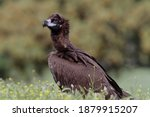 The Cinereous Vulture  Aegypius ...