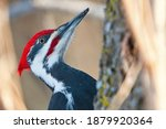 Pileated Woodpecker Close Up...