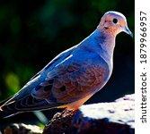 Wild Pigeon With Unique...