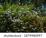 Pale White Plumbago Auriculata  ...
