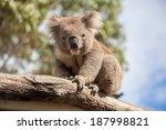 Portrait Of Koala Sitting On A...