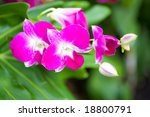 pink orchid isolated outdoor... | Shutterstock . vector #18800791