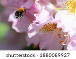Macro Photography  Bumblebee...