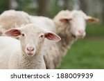 lamb standing on grass and... | Shutterstock . vector #188009939