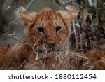 Lion Cub At Masia Mara
