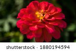 The bright red flowers of...