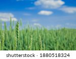 Green Field Wheat Cereals...