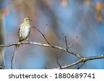 Female House Finch Perched On A ...