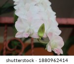 The Dendrobium Nobile. It Has...