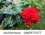 The Hibiscus Flower Is A Shrub...