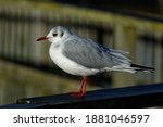 Black Headed Gull....